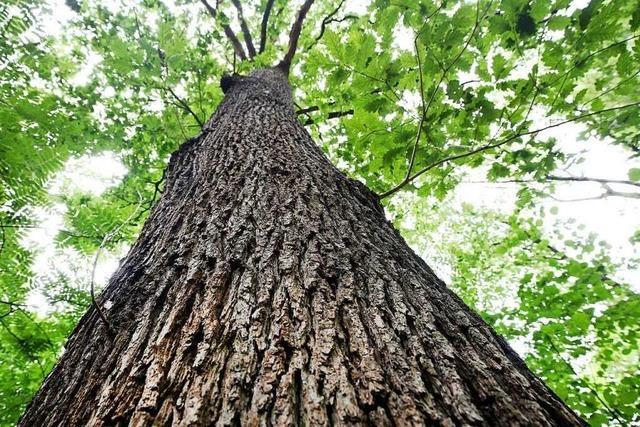 Forstwissenschaftler zum Eichwald: