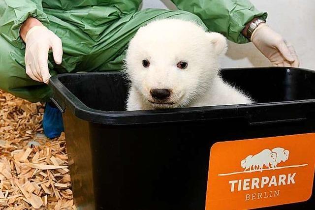 Das Eisbärenbaby im Berliner Zoo ist ein Mädchen