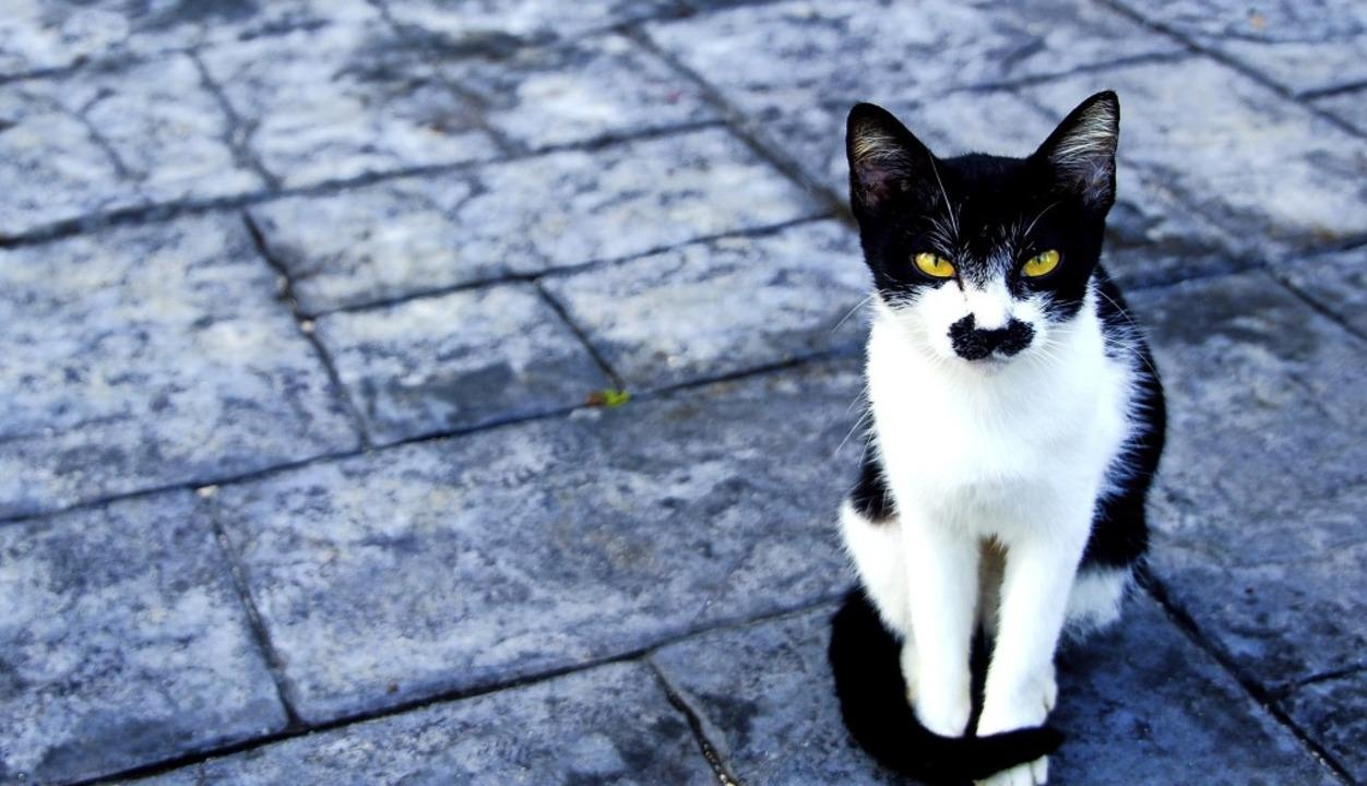 Cat with black mustache.    Foto: stock.adobe.com