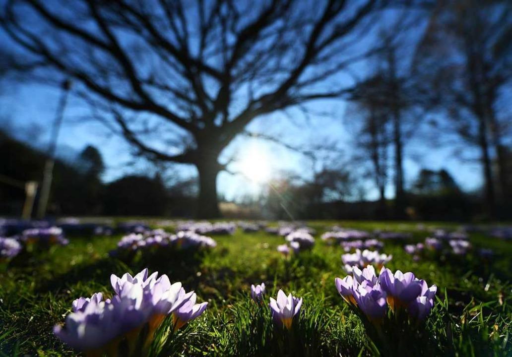 Im Freiburger Stadtgarten blühen dieses Jahr bereits im Februar die Krokusse.  | Foto: dpa
