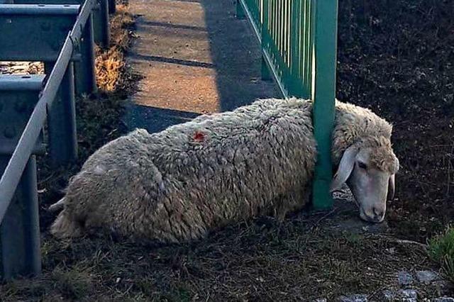Schäferin und Polizei retten im Brückengeländer an B31 eingeklemmtes Schaf