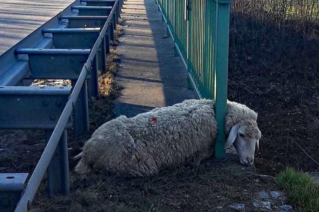 Unbeweglich verharrte dieses Schaf am ...einer misslichen Situation an der B31.  | Foto: Polizei Freiburg
