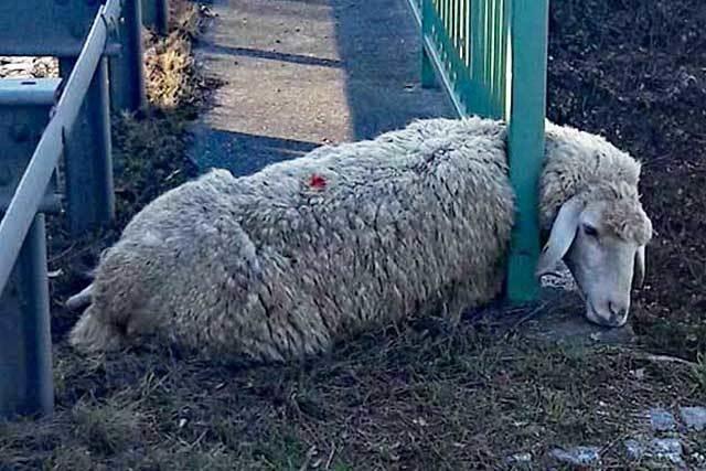 Schäferin und Polizei retten Schaf aus Brückengeländer an der B31