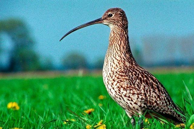 Rodungen sollen den Großen Brachvogel in der Ortenau erhalten