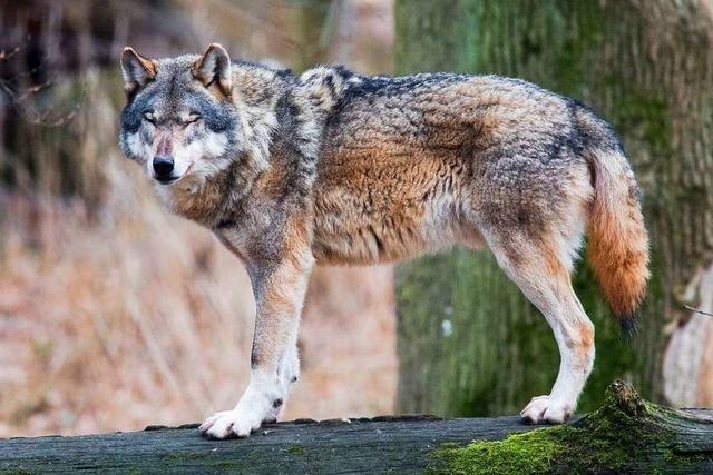 Vermutlich hat ein Wolf zwei Schafe gerissen