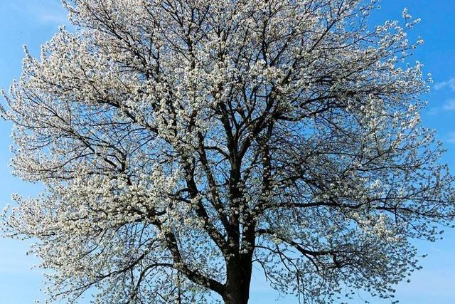 Kirschblüte als Licht und Schattenspiel