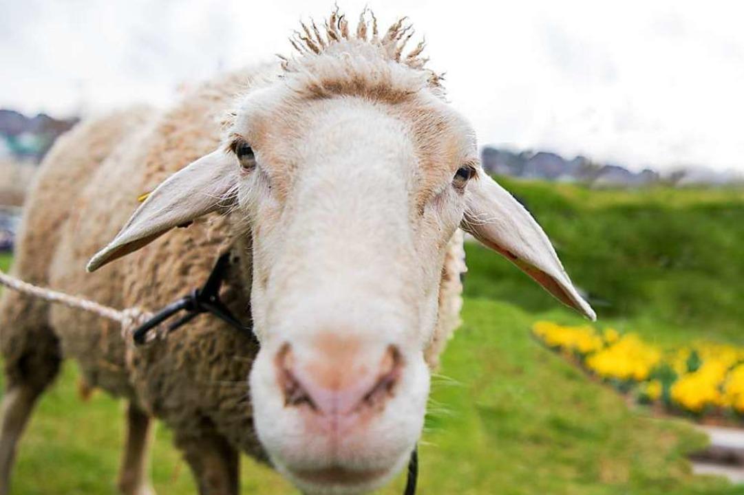 Ein Schaf samt Lamm war auf Streifzug in Rheinfelden  | Foto: dpa
