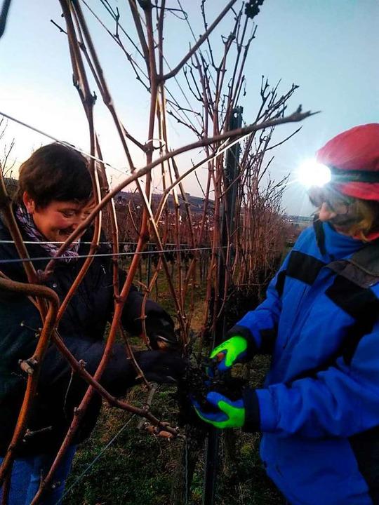 Helferinnen bei der Ernte der Trockenbeerenauslese    Foto: Hubert Röderer