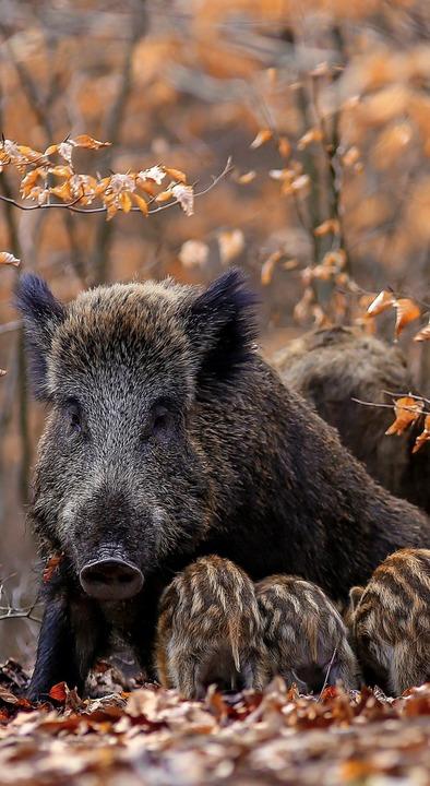 Wildschweine kommen  den Menschen  nahe.  | Foto: Adobe.com