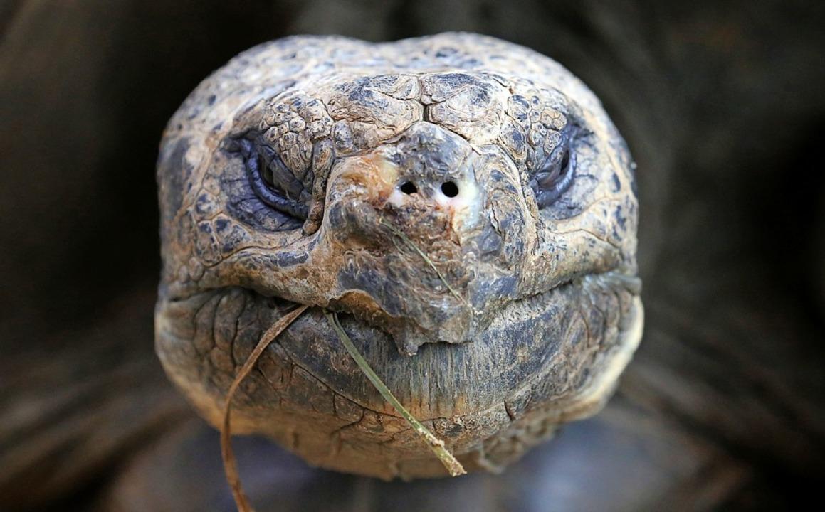 Von Riesenschildkröten wie dieser gibt...f den Galápagos-Inseln mehrere Arten.   | Foto: dpa