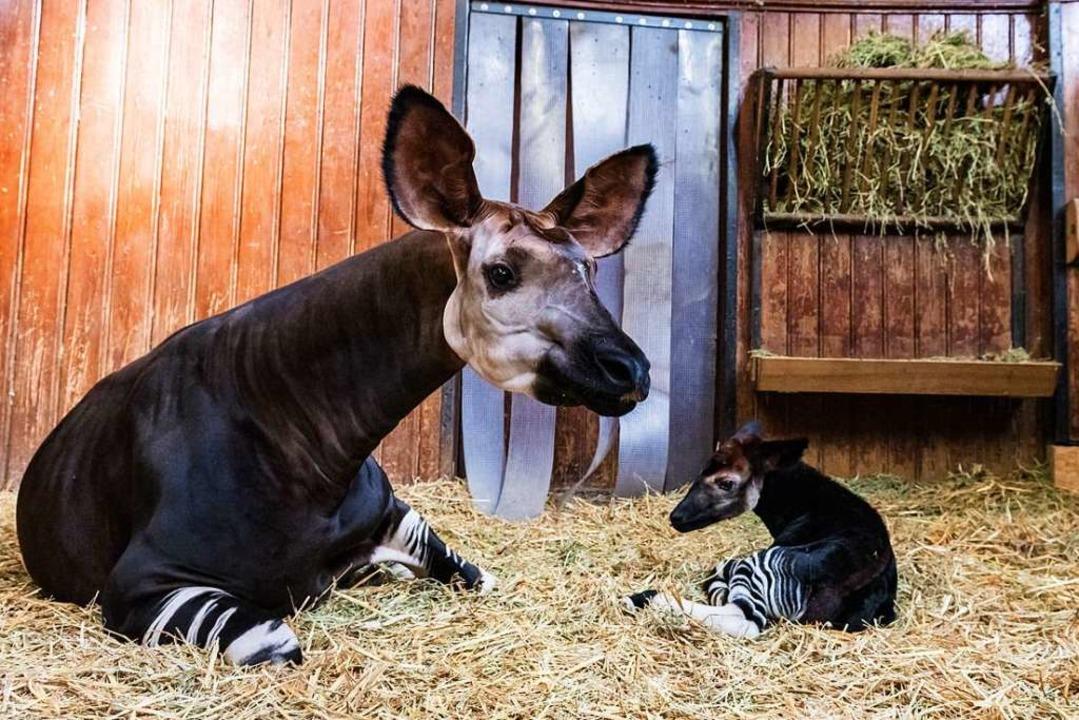 Okapibaby Quenco  | Foto: Zoo Basel (Torben Weber)