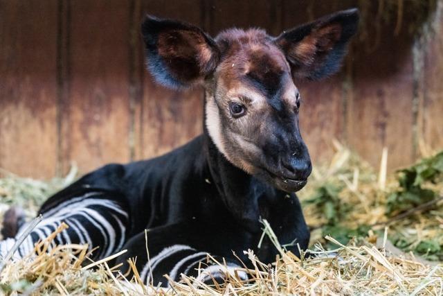 Im Basler Zoo ist ein kleines Okapi zur Welt gekommen