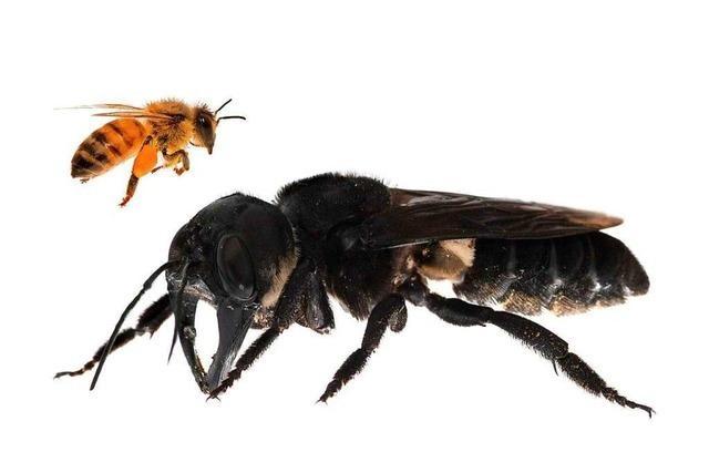 Größte Biene der Welt nach fast 40 Jahren wieder gesichtet