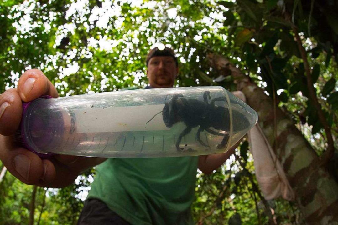 Wallace-Riesenbiene war zuletzt 1981 gesehen worden  | Foto: AFP