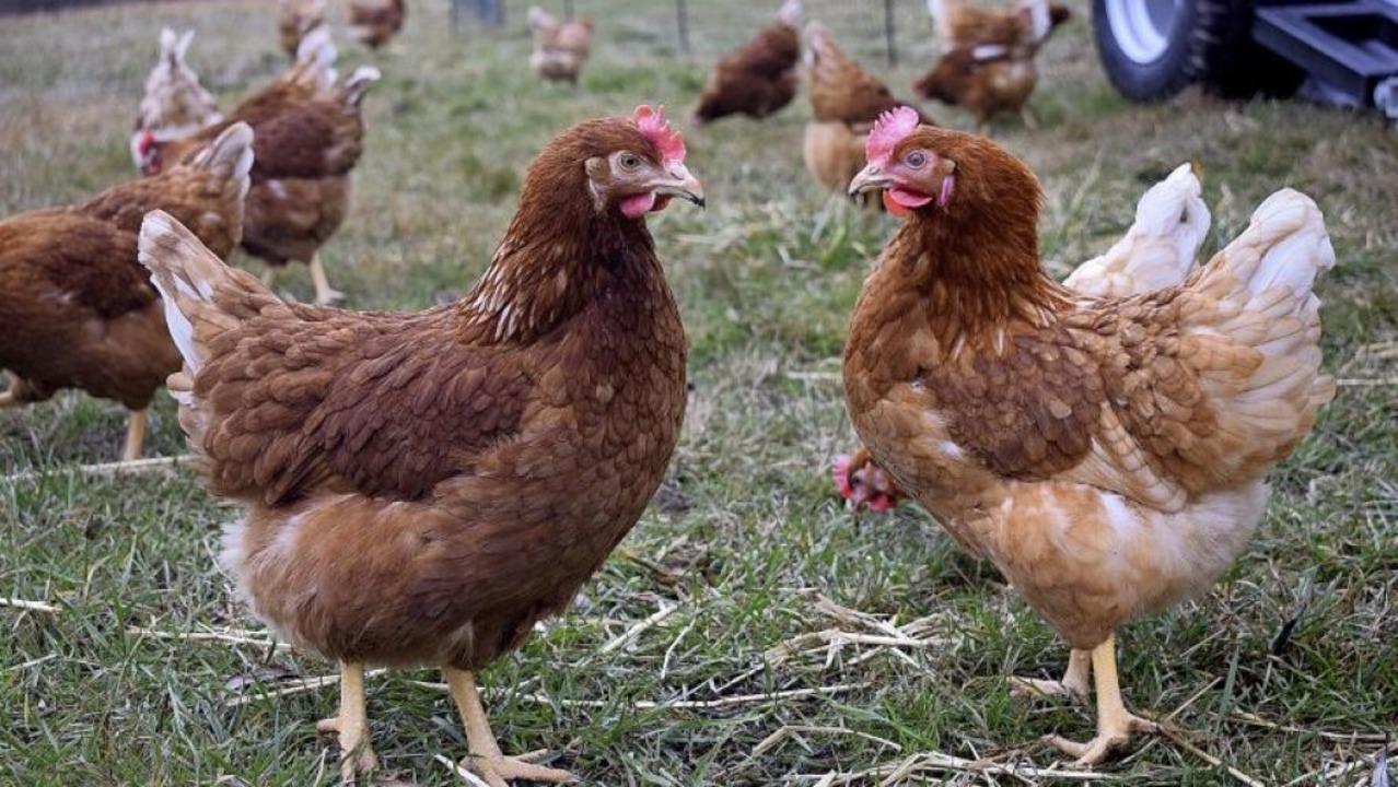 Unterwegs zuhause – die Hühner v...le lernen etwas von der Region kennen.  | Foto: Frank Schoch