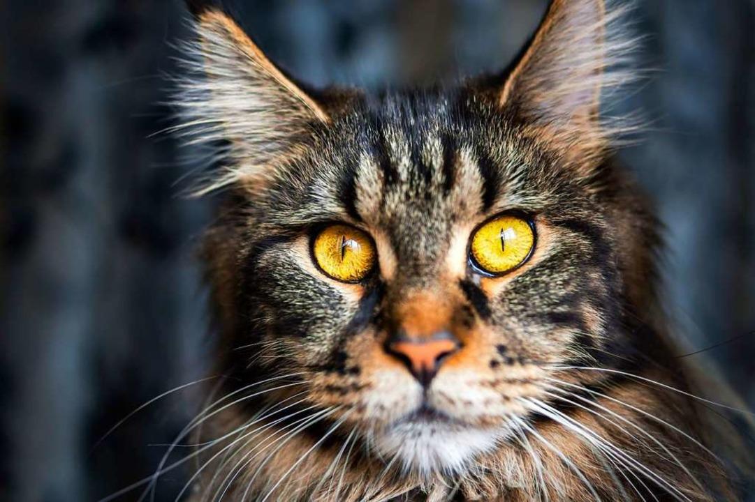 Katzen haben ihre eigene Vorstellungen...s nachts in der Wohnung los sein soll.  | Foto: Lemur / adobe.com