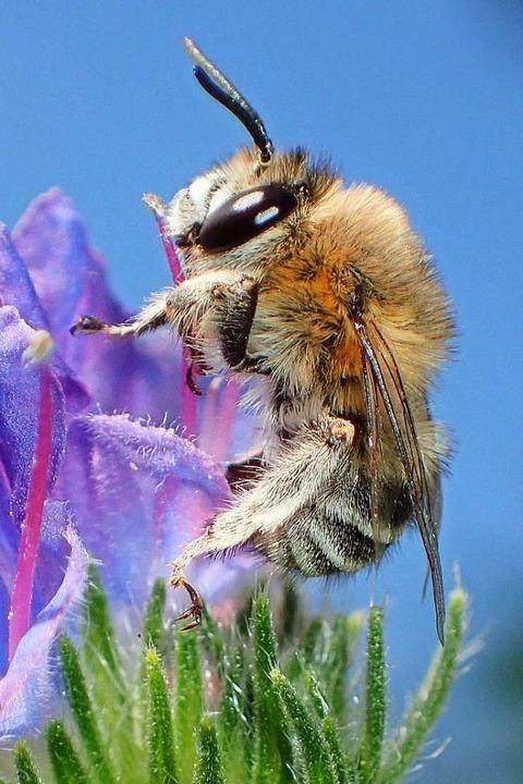 Sie kommt in Baden-Württemberg ausschl...terben bedroht: die Filzige Pelzbiene.  | Foto: Reinhold Treiber