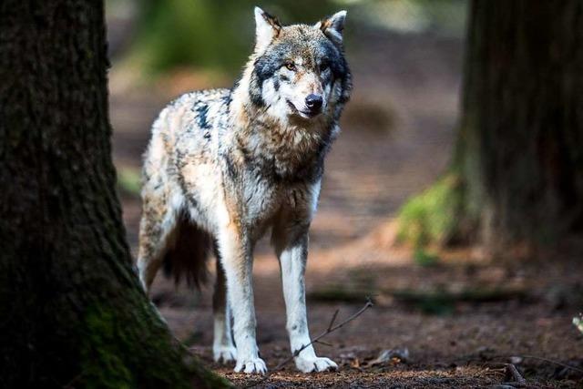 Ein Wolf hat die beiden Schafe bei Oppenau am 18. Februar gerissen