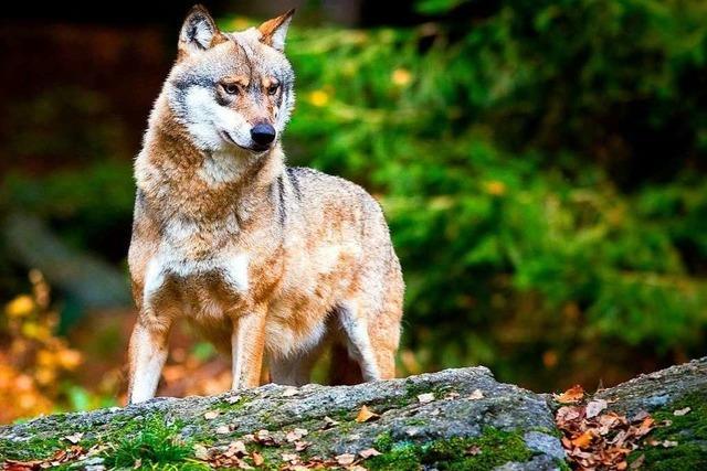 Umweltministerin will Jagd auf Wolf ermöglichen