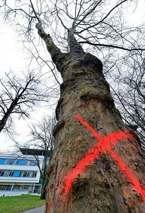 Kurz vor Ende der aktuellen Fällperiod...ssten noch einige Bäume dran glauben.   | Foto: Symbolbild: Michael Bamberger