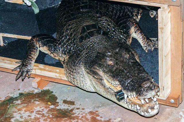 Wilhelma: Frederick ist das größte Krokodil Deutschlands