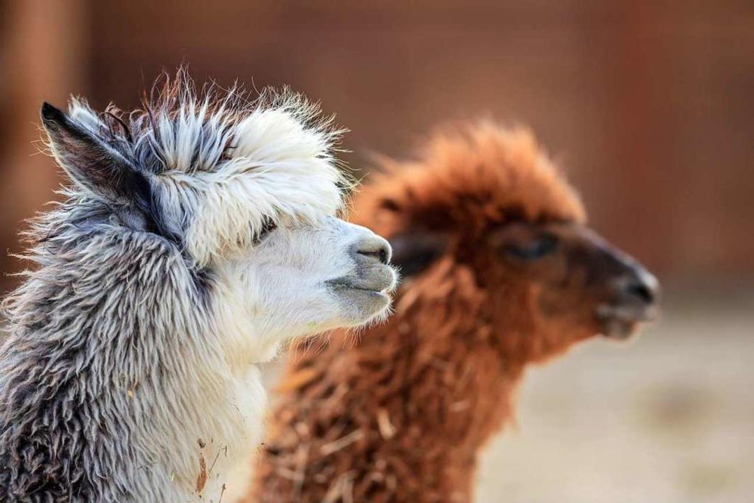 Alpakas kommen aus den Anden und sind eine domestizierte Kamelart.    Foto: underwaterstas - stock.adobe.com