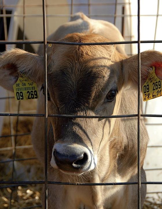 Die Kuh ist nicht nur Festival-Maskott... bei Hof-Führungen live erlebt werden.  | Foto: Truöl