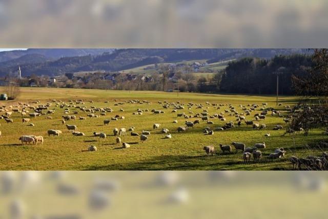Schafherde auf der Durchreise