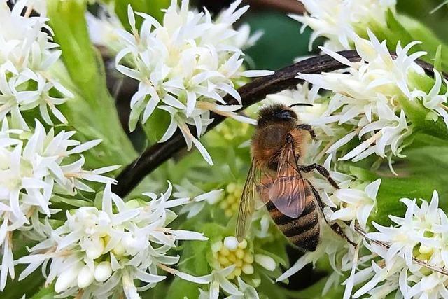 Glottertäler Imker erklärt, inwiefern sich Bienen und Menschen ähneln