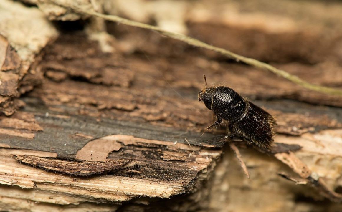 Der Buchdrucker (Ips typographus) bereitet den Waldbesitzern zunehmend Sorgen.  | Foto: Stock.adobe.com