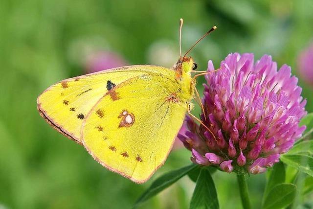 Was sich zum Schutz der Schmetterlinge ändern muss