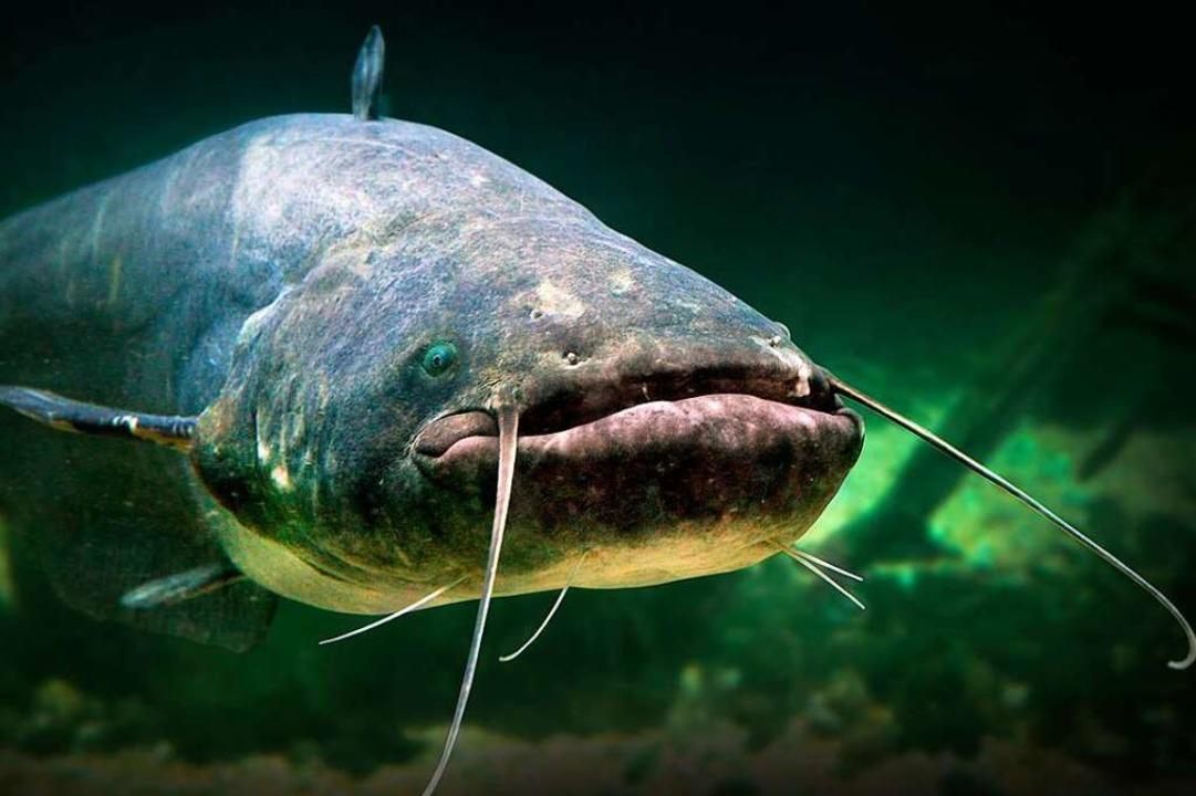 Welse angeln und sie dann wieder schwi...t in Deutschland verboten. Symbolbild.  | Foto: ©Kletr  (stock.adobe.com)