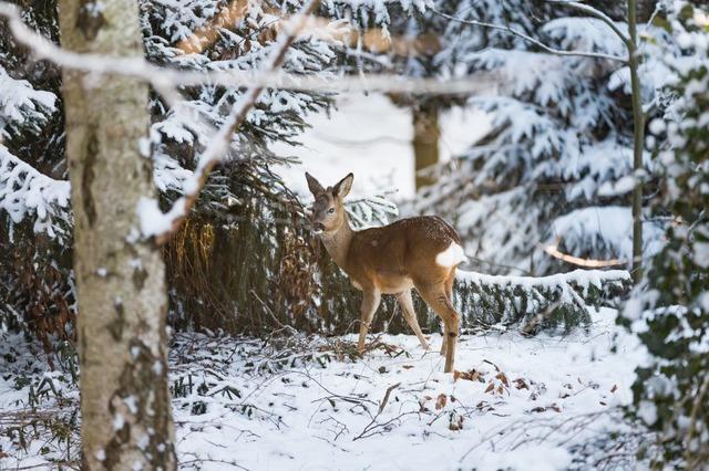 Jagd schützt den Staatswald in Kirchzarten vor Wildschäden