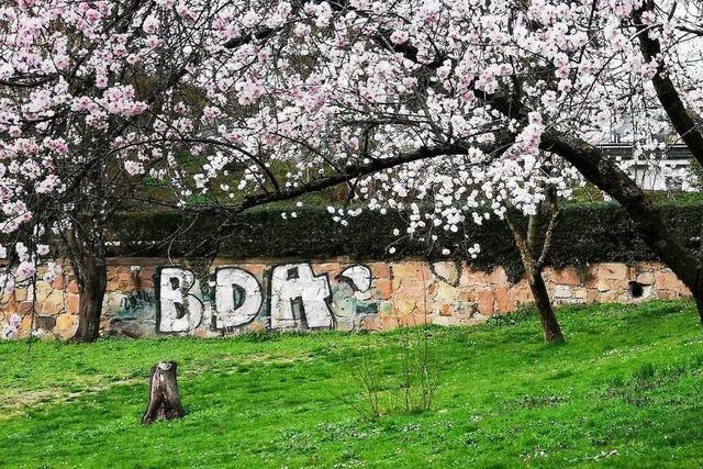 Mandelbäume blühen im Colombipark