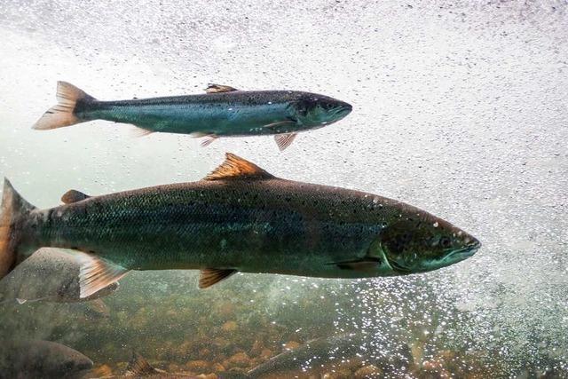 Diese Fische nehmen den Lift um den Fluss hinaufzukommen