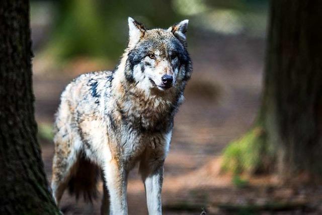 Umweltpolitiker der Union fordern strenge Obergrenze für Wölfe