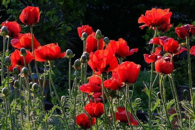 Nach und nach blüht der Mohn im Botanischen Garten Basel in allen Farben