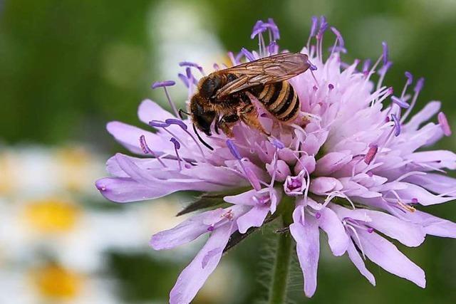 Für die Artenvielfalt: Denzlingen fördert Aussaat von Wildblumen