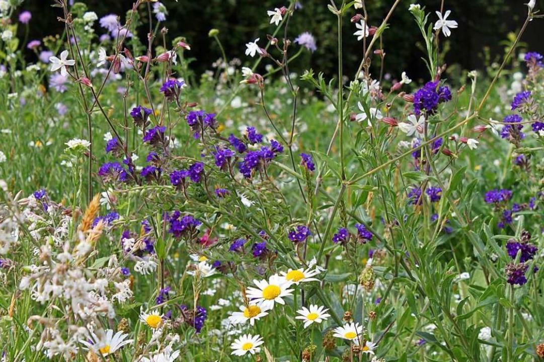 Geförderte Wildblumenflächen  in Denzlingen erhöhen die Artenvielfalt.  | Foto: Annette Marquardt