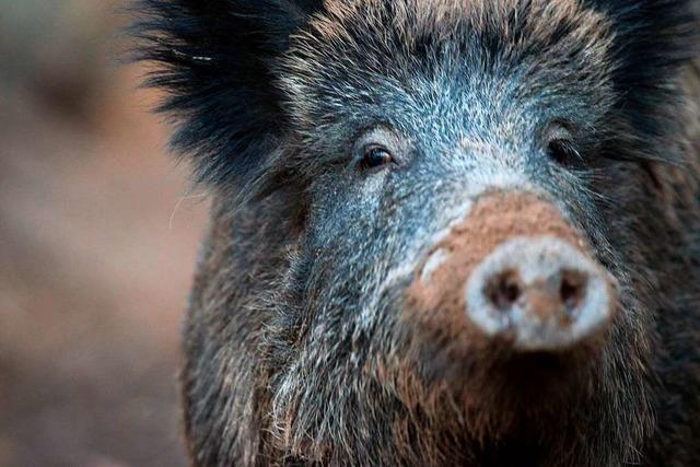 Der Kreis Waldshut bereitet sich auf die Afrikanische Schweinepest vor