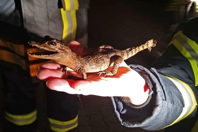 Totes Mini-Krokodil löst Polizeieinsatz aus
