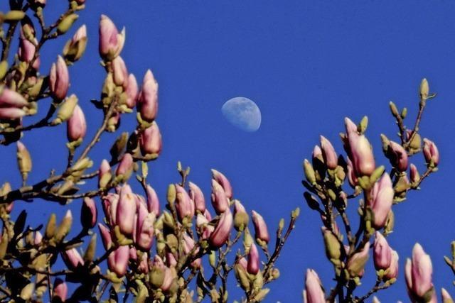 Vollmond und Magnolienblüten
