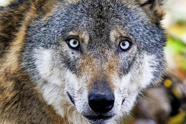 Wie können sich Tierhalter vor Wolfsangriffen schützen?