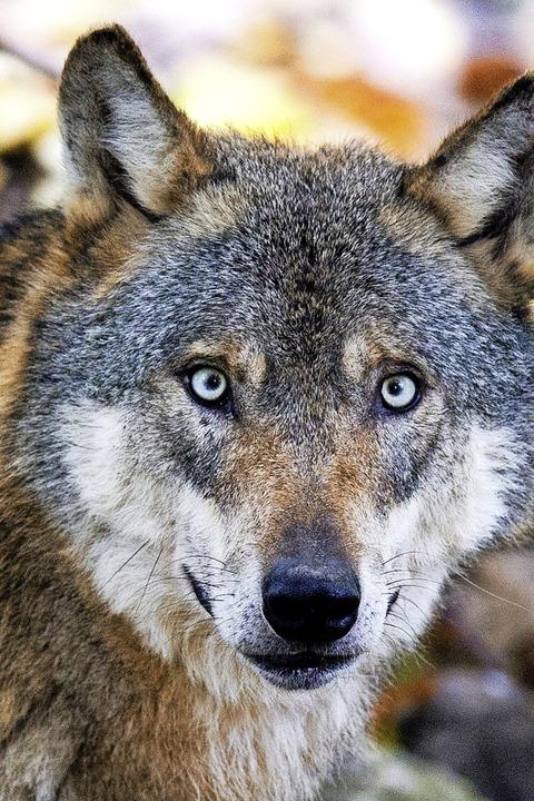 Zuletzt hat im Januar ein Wolf im Kinzigtal  ein Schaf gerissen.  | Foto: dpa