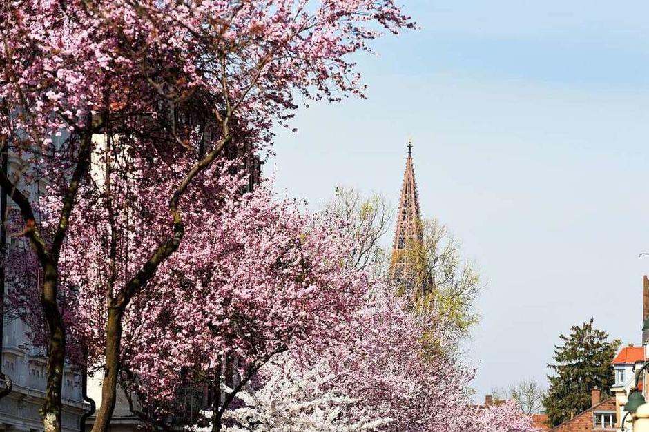 Die Spitze des Münsterturms verschwindet hinter einem Meer aus Blüten. (Foto: Rita Eggstein)