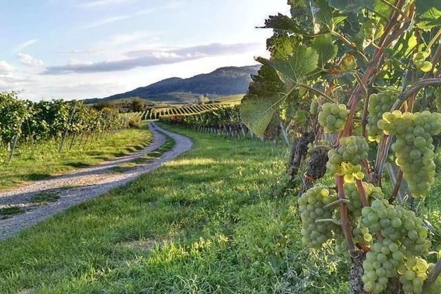 Wie badische Winzer gezielt Weintouristen in die Region locken wollen