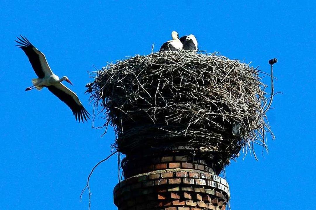 Störche bauen am liebsten in luftiger Höhe.  | Foto: Ingo Schneider