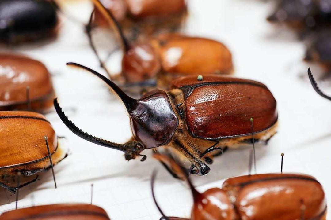 Blick in die Käfersammlung Frey.  | Foto: Gregor Brändli