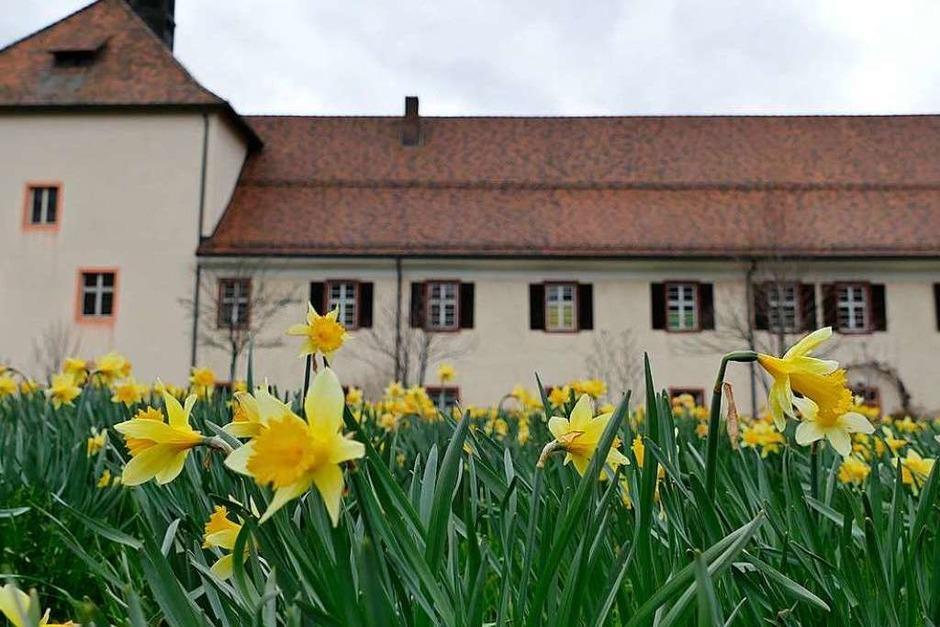 Narzissen hinter dem Klostergebäude in Oberried. (Foto: Markus Donner)