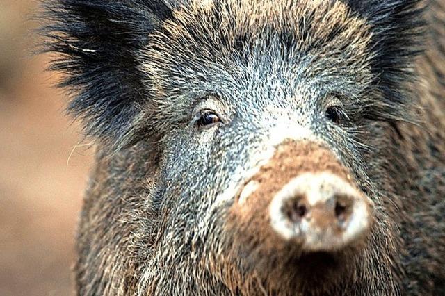 Schweine treiben Kosten hoch